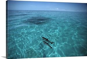 Atlantic Spotted Dolphins in clear water, Little Bahama