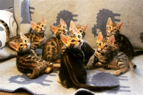 SwedeHearts Bengals